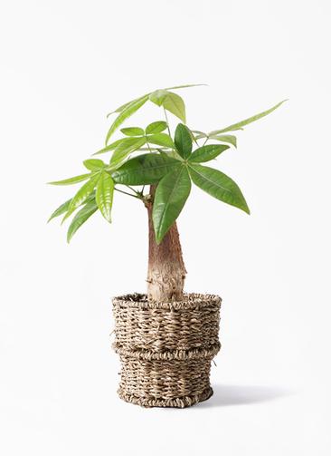 観葉植物 パキラ 4号 朴 バスケット 付き