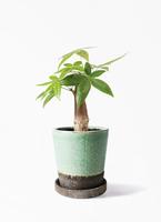 観葉植物 パキラ 4号 朴 ヴィフポット ミントグリーン 付き