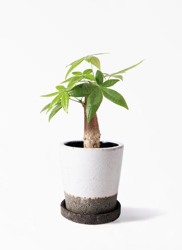 観葉植物 パキラ 4号 朴 ヴィフポット ホワイト 付き