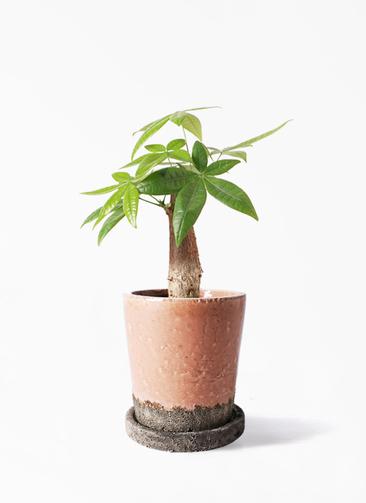 観葉植物 パキラ 4号 朴 ヴィフポット サーモンピンク 付き