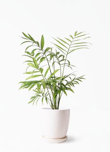 観葉植物 テーブルヤシ 4号 アステア トール ホワイト 付き