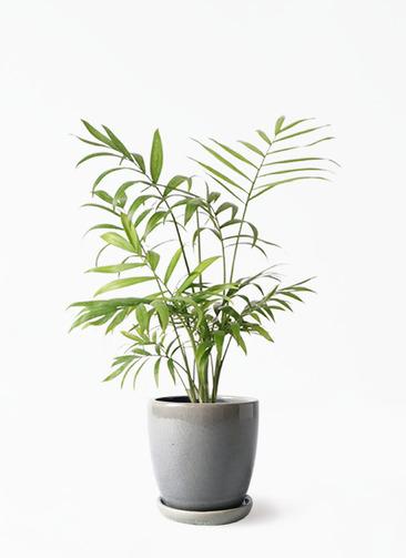 観葉植物 テーブルヤシ 4号 アステア トール ライトグレー 付き