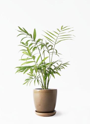 観葉植物 テーブルヤシ 4号 アステア トール ブラウン 付き