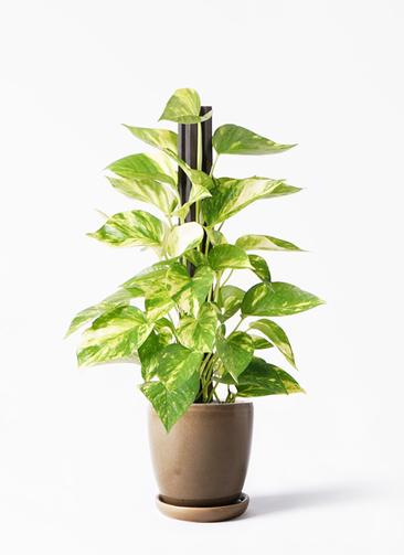 観葉植物 ポトス 4号 アステア トール ブラウン 付き