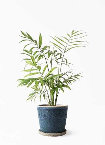 観葉植物 テーブルヤシ 4号 フェイバーポット ブルー 付き