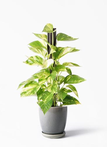 観葉植物 ポトス 4号 アステア トール ライトグレー 付き