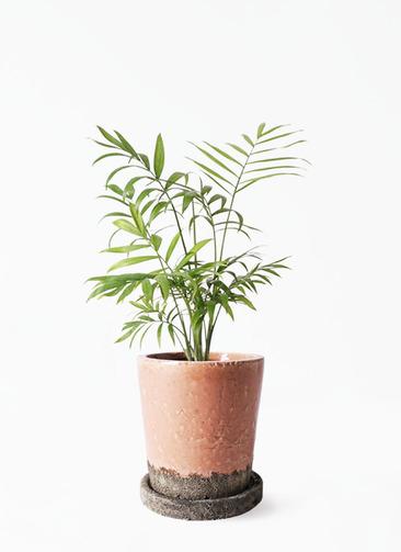 観葉植物 テーブルヤシ 4号 ヴィフポット サーモンピンク 付き