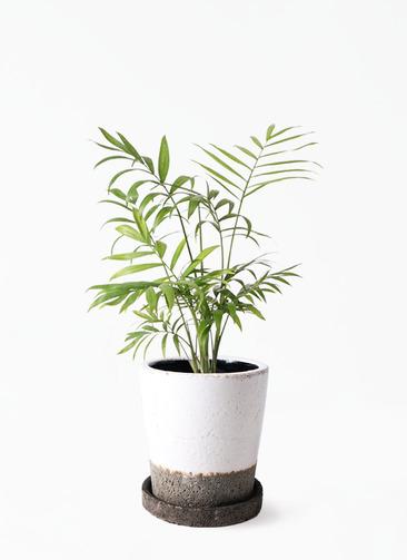 観葉植物 テーブルヤシ 4号 ヴィフポット ホワイト 付き