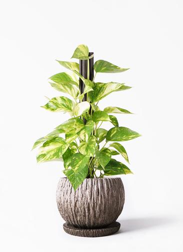 観葉植物 ポトス 4号 ストーン ウェア セラミック 付き