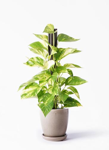 観葉植物 ポトス 4号 アステア トール ベージュ 付き