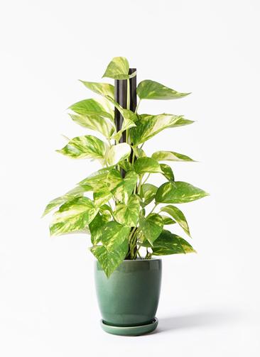 観葉植物 ポトス 4号 アステア トール グリーン 付き