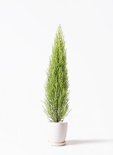 観葉植物 ゴールドクレスト 4号 ノーマル アステア トール ホワイト 付き