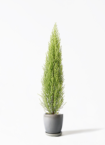 観葉植物 ゴールドクレスト 4号 ノーマル アステア トール ライトグレー 付き