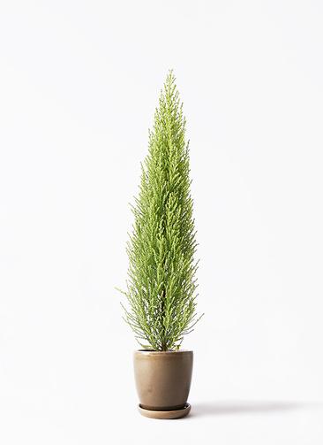 観葉植物 ゴールドクレスト 4号 ノーマル アステア トール ブラウン 付き