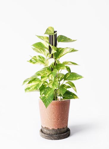 観葉植物 ポトス 4号 ヴィフポット サーモンピンク 付き