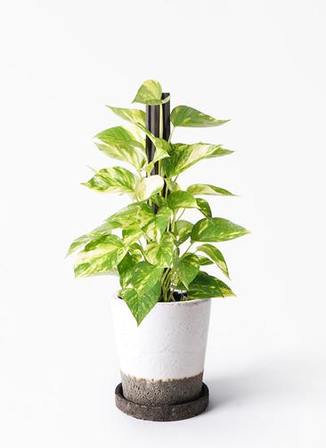 観葉植物 ポトス 4号 ヴィフポット ホワイト 付き