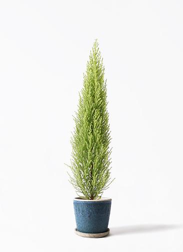 観葉植物 ゴールドクレスト 4号 ノーマル フェイバーポット ブルー 付き