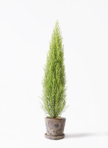 観葉植物 ゴールドクレスト 4号 ノーマル ハレー カーキー 付き