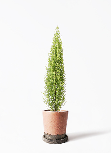 観葉植物 ゴールドクレスト 4号 ノーマル ヴィフポット サーモンピンク 付き