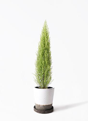 観葉植物 ゴールドクレスト 4号 ノーマル ヴィフポット ホワイト 付き