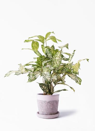 観葉植物 ドラセナ ゴッドセフィアーナ 4号 ハレー ピンク 付き