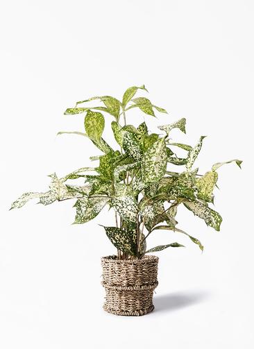 観葉植物 ドラセナ ゴッドセフィアーナ 4号 バスケット 付き