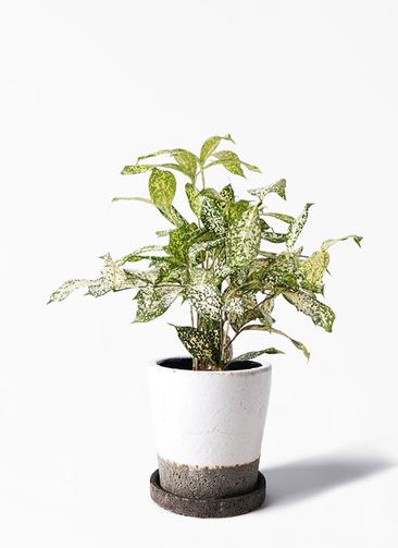 観葉植物 ドラセナ ゴッドセフィアーナ 4号 ヴィフポット ホワイト 付き