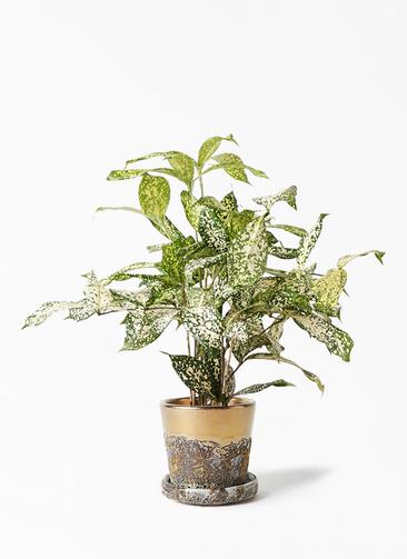 観葉植物 ドラセナ ゴッドセフィアーナ 4号 ハレー ブロンズ 付き