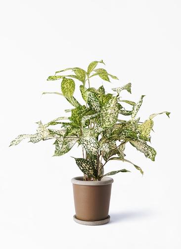 観葉植物 ドラセナ ゴッドセフィアーナ 4号 キャメルポット ブラウン 付き