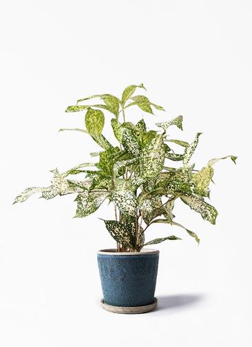 観葉植物 ドラセナ ゴッドセフィアーナ 4号 フェイバーポット ブルー 付き