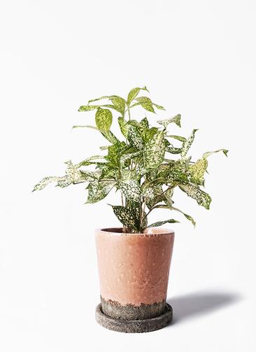 観葉植物 ドラセナ ゴッドセフィアーナ 4号 ヴィフポット サーモンピンク 付き