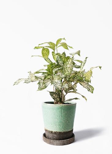 観葉植物 ドラセナ ゴッドセフィアーナ 4号 ヴィフポット ミントグリーン 付き
