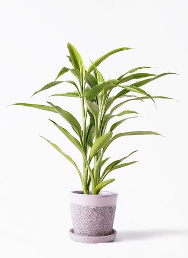 観葉植物 ドラセナ サンデリアーナ ゴールド 4号 ハレー ピンク 付き