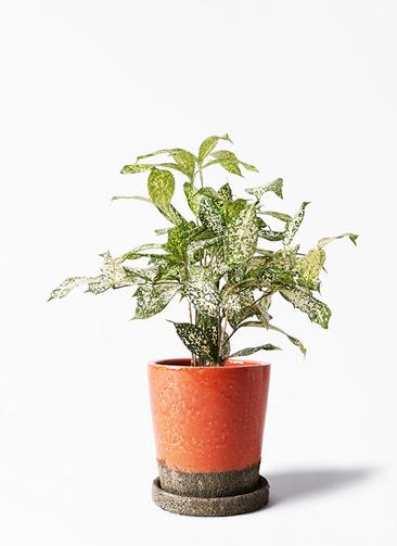 観葉植物 ドラセナ ゴッドセフィアーナ 4号 ヴィフポット オレンジ 付き