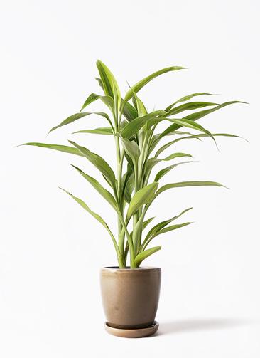 観葉植物 ドラセナ サンデリアーナ ゴールド 4号 アステア トール ブラウン 付き