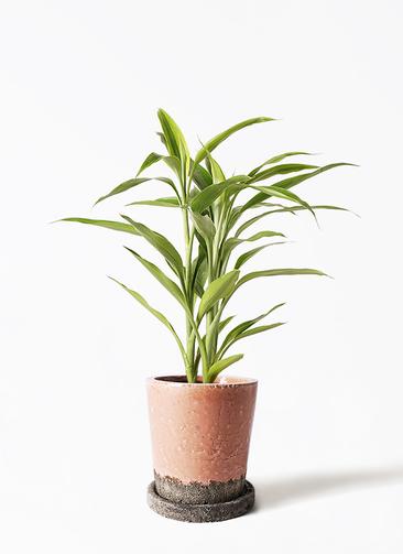 観葉植物 ドラセナ サンデリアーナ ゴールド 4号 ヴィフポット サーモンピンク 付き