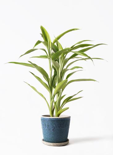 観葉植物 ドラセナ サンデリアーナ ゴールド 4号 フェイバーポット ブルー 付き