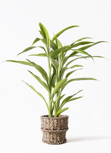 観葉植物 ドラセナ サンデリアーナ ゴールド 4号 バスケット 付き