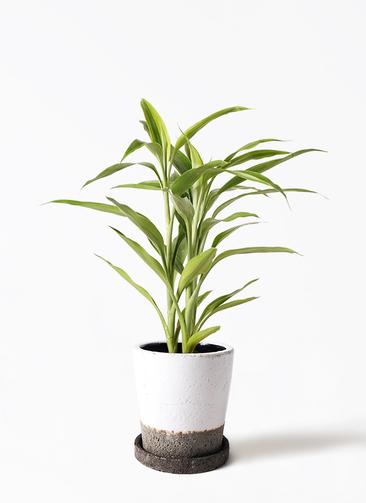 観葉植物 ドラセナ サンデリアーナ ゴールド 4号 ヴィフポット ホワイト 付き