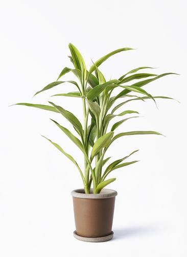 観葉植物 ドラセナ サンデリアーナ ゴールド 4号 キャメルポット ブラウン 付き