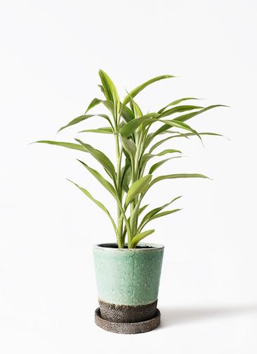 観葉植物 ドラセナ サンデリアーナ ゴールド 4号 ヴィフポット ミントグリーン 付き