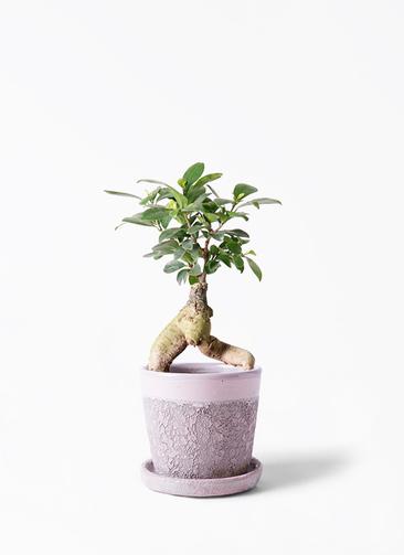 観葉植物 ガジュマル 4号 股仕立て ハレー ピンク 付き
