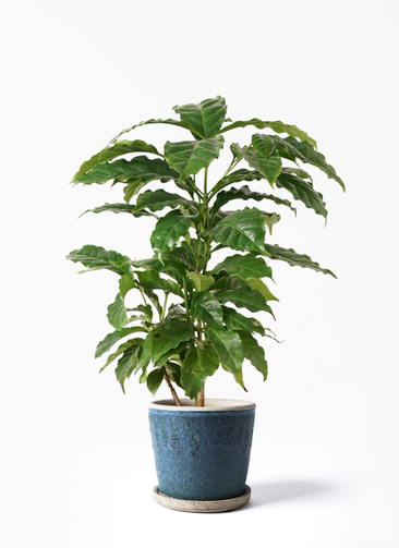 観葉植物 コーヒーの木 4号 フェイバーポット ブルー 付き