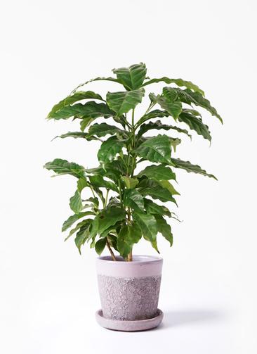 観葉植物 コーヒーの木 4号 ハレー ピンク 付き