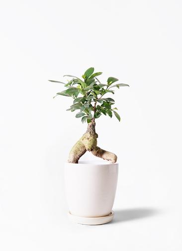観葉植物 ガジュマル 4号 股仕立て アステア トール ホワイト 付き