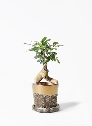 観葉植物 ガジュマル 4号 股仕立て ハレー ブロンズ 付き