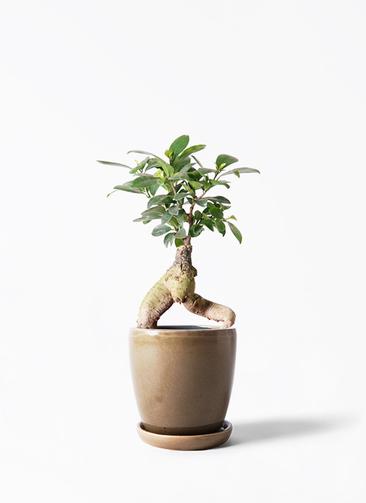 観葉植物 ガジュマル 4号 股仕立て アステア トール ブラウン 付き