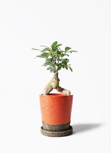 観葉植物 ガジュマル 4号 股仕立て ヴィフポット オレンジ 付き
