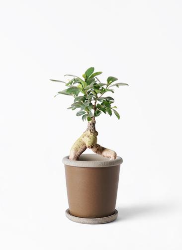 観葉植物 ガジュマル 4号 股仕立て キャメルポット ブラウン 付き