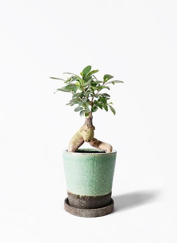 観葉植物 ガジュマル 4号 股仕立て ヴィフポット ミントグリーン 付き